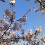 多田家の桜