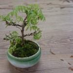 開耶香房さんにミニ盆栽植えて頂きました。