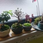 小品盆栽育成中