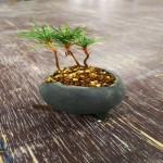 ミニ盆栽の植え替え