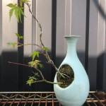 盆栽 香川 楓