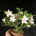 サツキの盆栽を頂きました!!