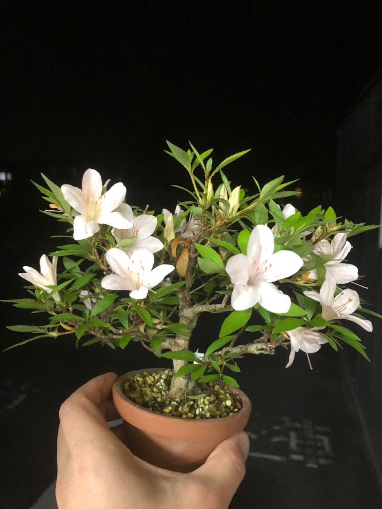 サツキ 盆栽